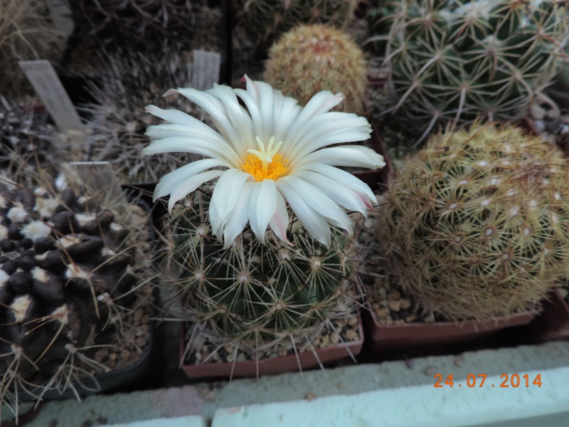 Cacti and Sukkulent in Köln, every day new flowers in the greenhouse Part 102 Bild_869