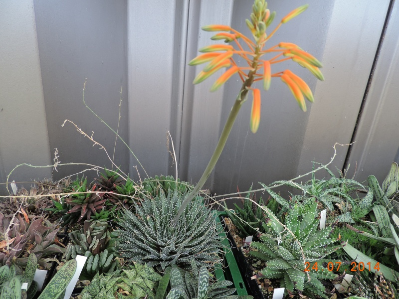 Cacti and Sukkulent in Köln, every day new flowers in the greenhouse Part 102 Bild_878