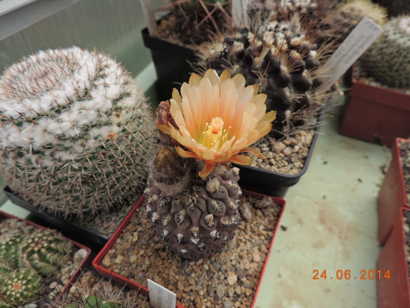 Cacti and Sukkulent in Köln, every day new flowers in the greenhouse Part 102 Bild_893