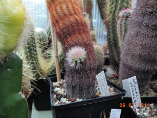 Cacti and Sukkulent in Köln, every day new flowers in the greenhouse Part 102 Bild_911