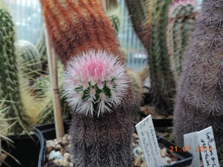 Cacti and Sukkulent in Köln, every day new flowers in the greenhouse Part 102 Bild_918