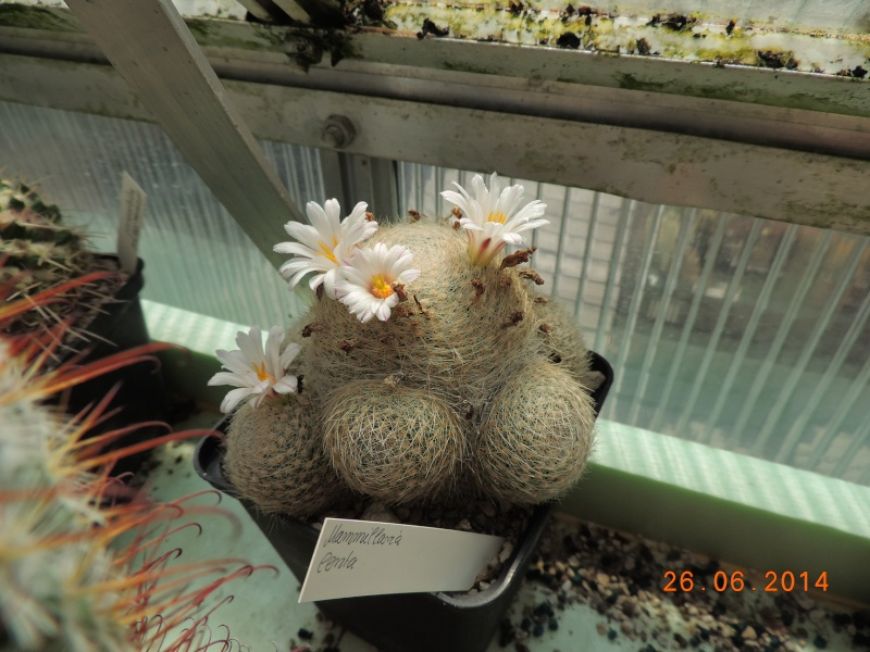 Cacti and Sukkulent in Köln, every day new flowers in the greenhouse Part 102 Bild_925