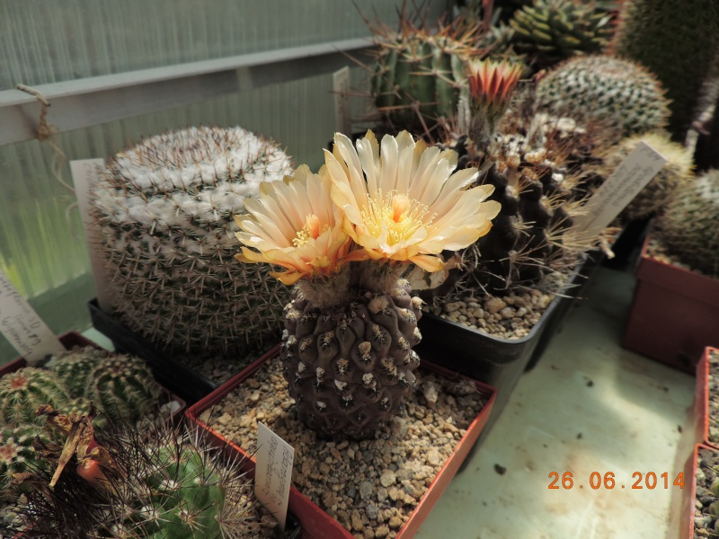 Cacti and Sukkulent in Köln, every day new flowers in the greenhouse Part 102 Bild_930