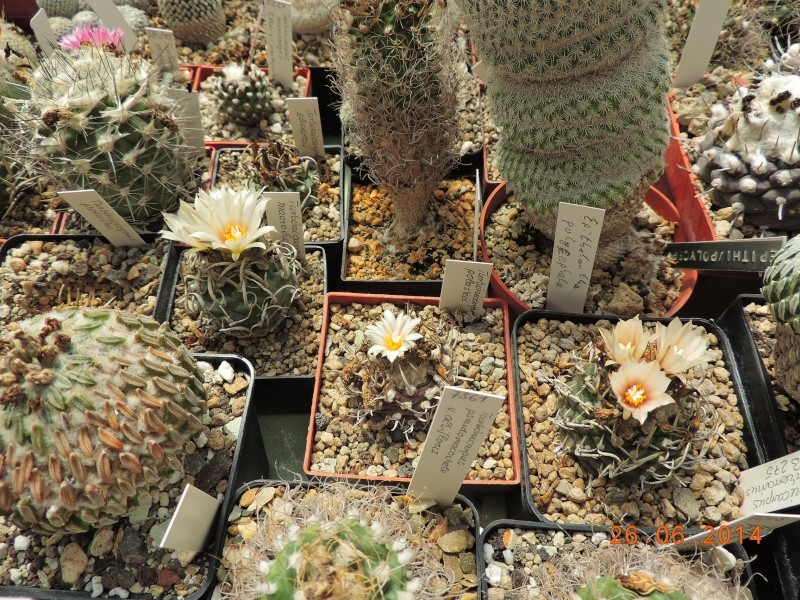 Cacti and Sukkulent in Köln, every day new flowers in the greenhouse Part 102 Bild_931