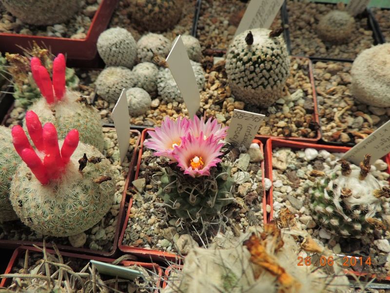 Cacti and Sukkulent in Köln, every day new flowers in the greenhouse Part 102 Bild_932