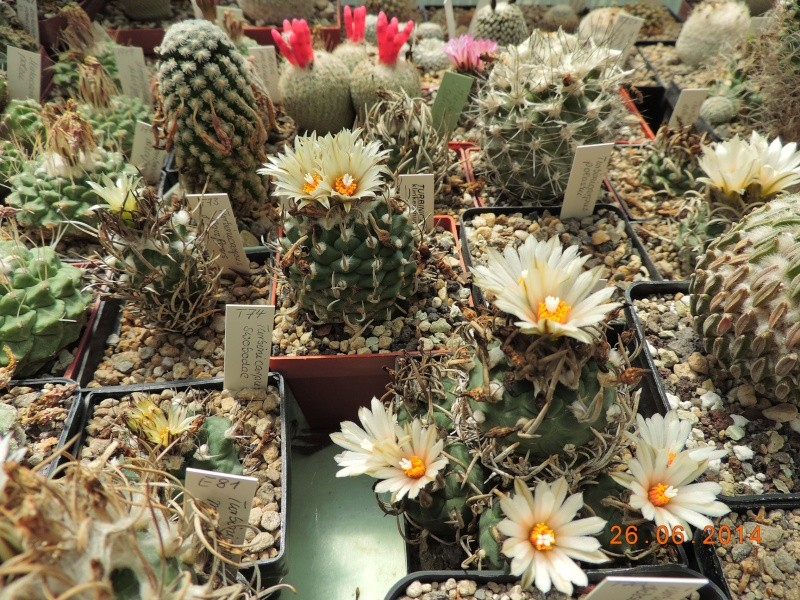 Cacti and Sukkulent in Köln, every day new flowers in the greenhouse Part 102 Bild_933