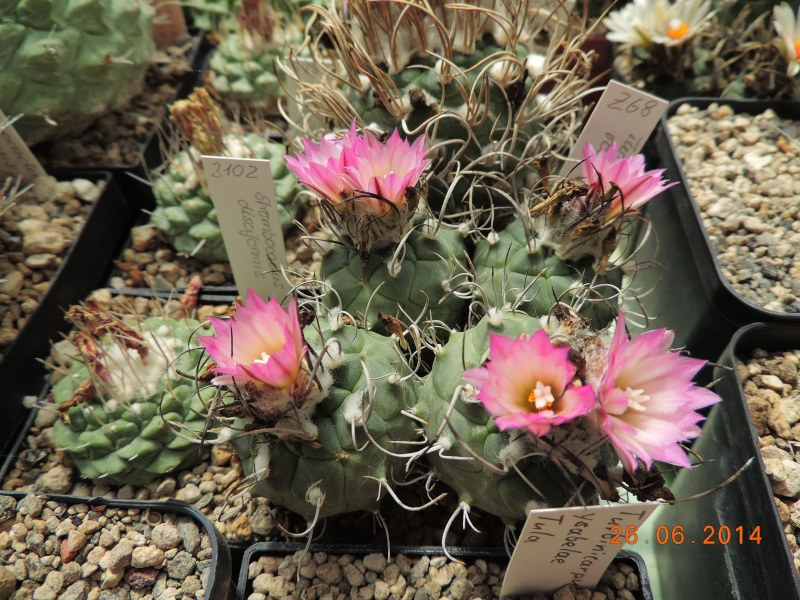 Cacti and Sukkulent in Köln, every day new flowers in the greenhouse Part 102 Bild_934