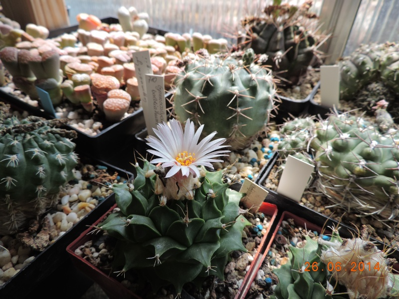 Cacti and Sukkulent in Köln, every day new flowers in the greenhouse Part 102 Bild_936