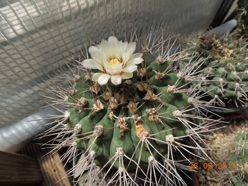 Cacti and Sukkulent in Köln, every day new flowers in the greenhouse Part 102 Bild_946