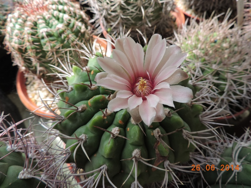 Cacti and Sukkulent in Köln, every day new flowers in the greenhouse Part 102 Bild_947