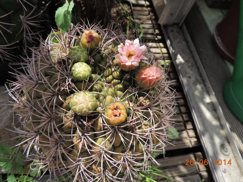 Cacti and Sukkulent in Köln, every day new flowers in the greenhouse Part 102 Bild_949