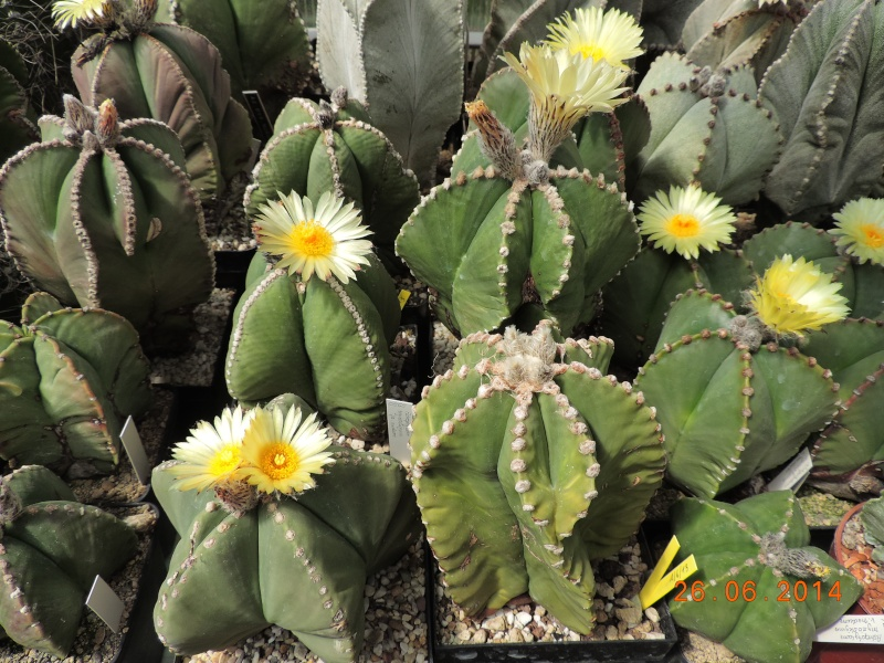 Cacti and Sukkulent in Köln, every day new flowers in the greenhouse Part 102 Bild_959