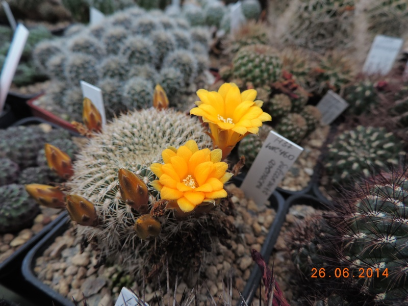 Cacti and Sukkulent in Köln, every day new flowers in the greenhouse Part 102 Bild_965