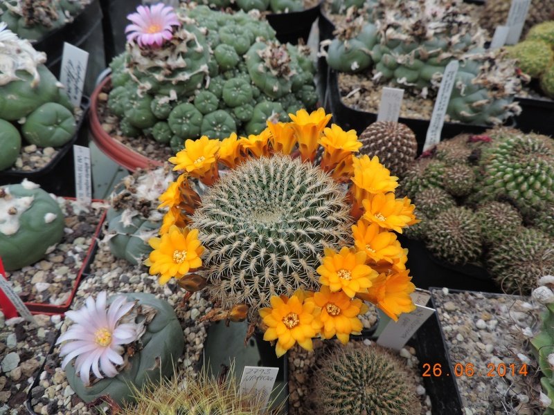 Cacti and Sukkulent in Köln, every day new flowers in the greenhouse Part 102 Bild_966