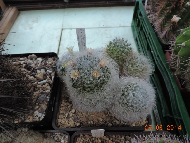 Cacti and Sukkulent in Köln, every day new flowers in the greenhouse Part 102 Bild_970