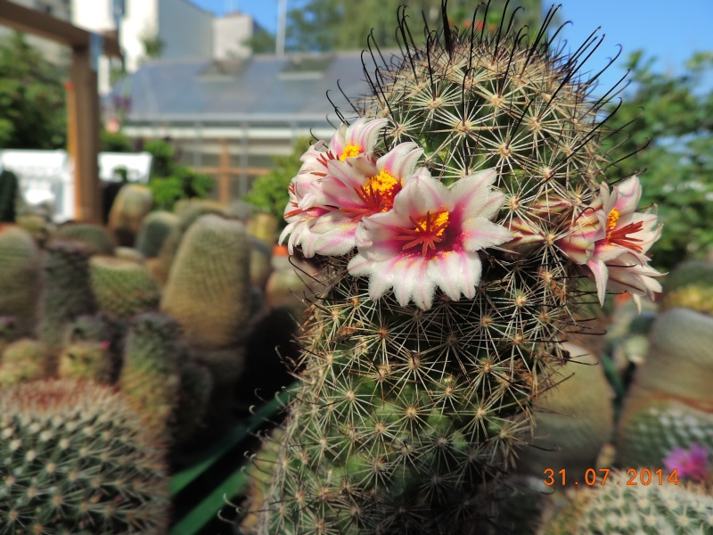 Cacti and Sukkulent in Köln, every day new flowers in the greenhouse Part 102 Bild_972