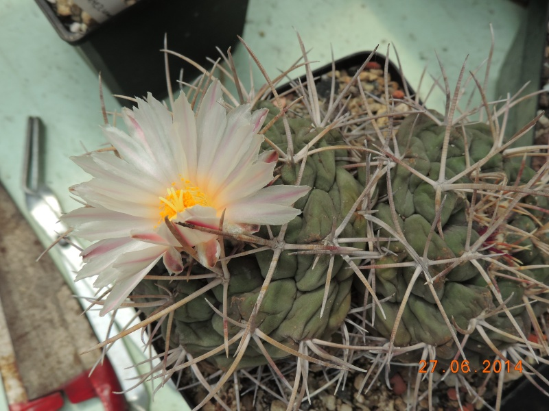 Cacti and Sukkulent in Köln, every day new flowers in the greenhouse Part 103 Bild_985