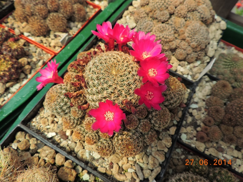 Cacti and Sukkulent in Köln, every day new flowers in the greenhouse Part 103 Bild_995