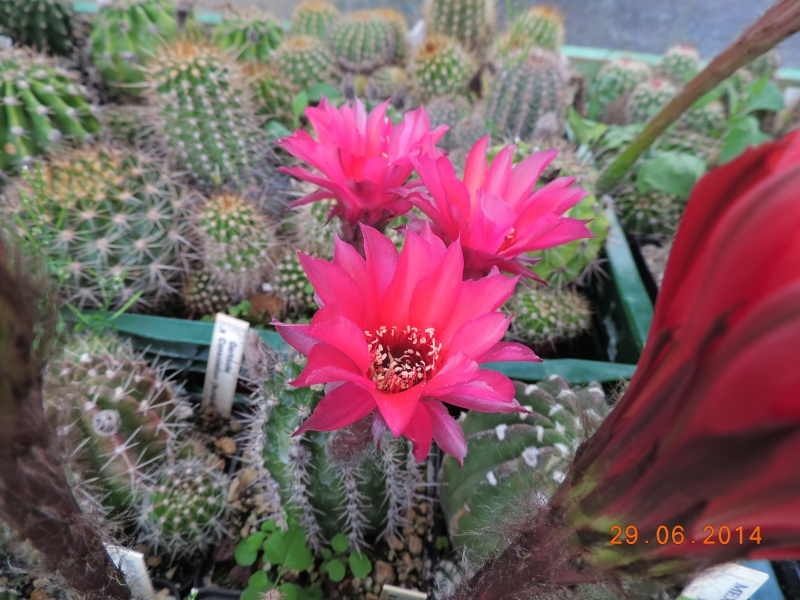 Cacti and Sukkulent in Köln, every day new flowers in the greenhouse Part 99 Dscn7810