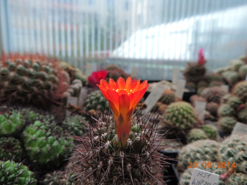 Cacti and Sukkulent in Köln, every day new flowers in the greenhouse Part 99 Dscn8010