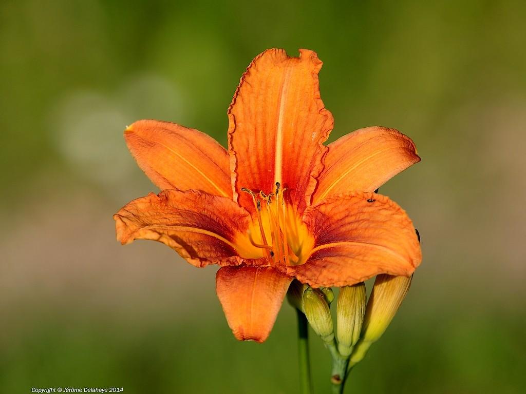 la fleur de lys Sans_t17