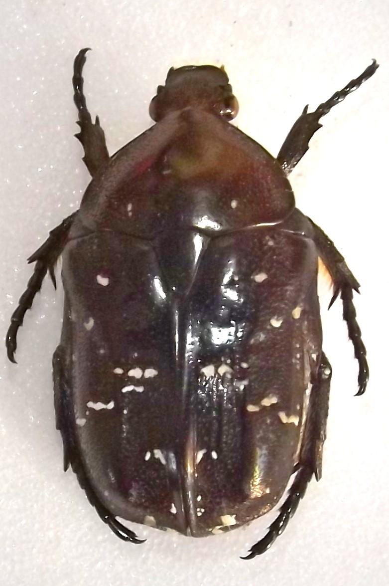 [Protaetia (liocola) brevitarsis] Protaetia japonaise ? Dscf7113