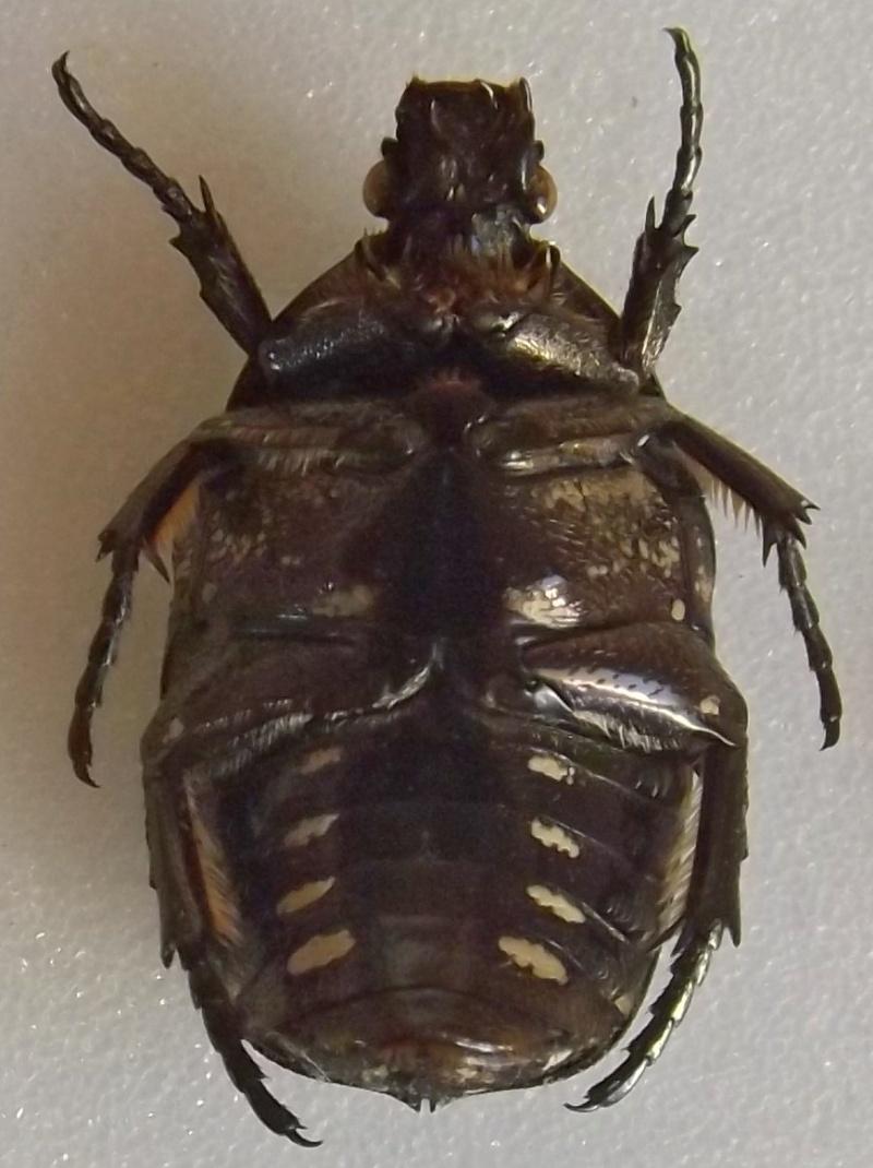 [Protaetia (liocola) brevitarsis] Protaetia japonaise ? Dscf7114