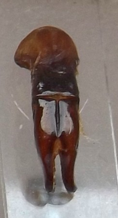 [Protaetia (liocola) brevitarsis] Protaetia japonaise ? Dscf7116