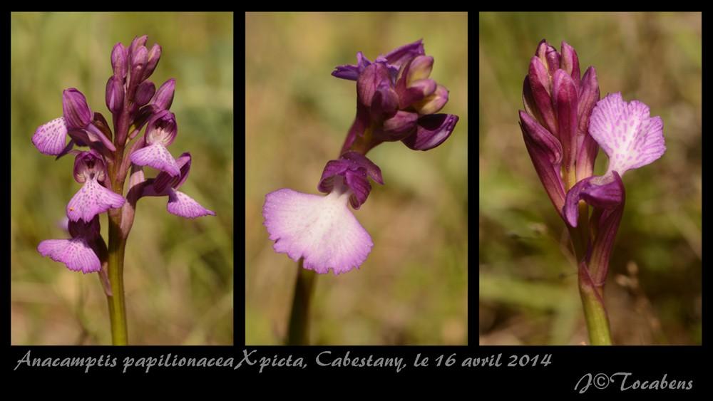 Anacamptis papilionacea X picta A_papx10