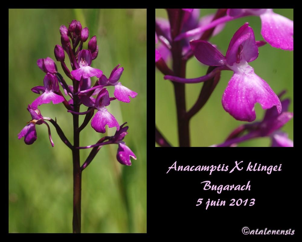 Anacamptis laxiflora × pyramidalis (× klingei) Ana_xk10