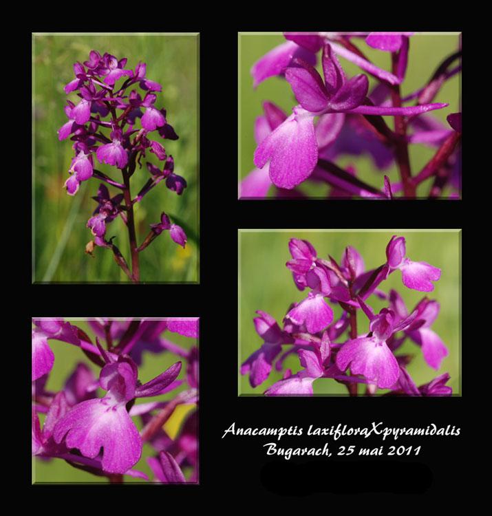 Anacamptis laxiflora × pyramidalis (× klingei) Anac_l10