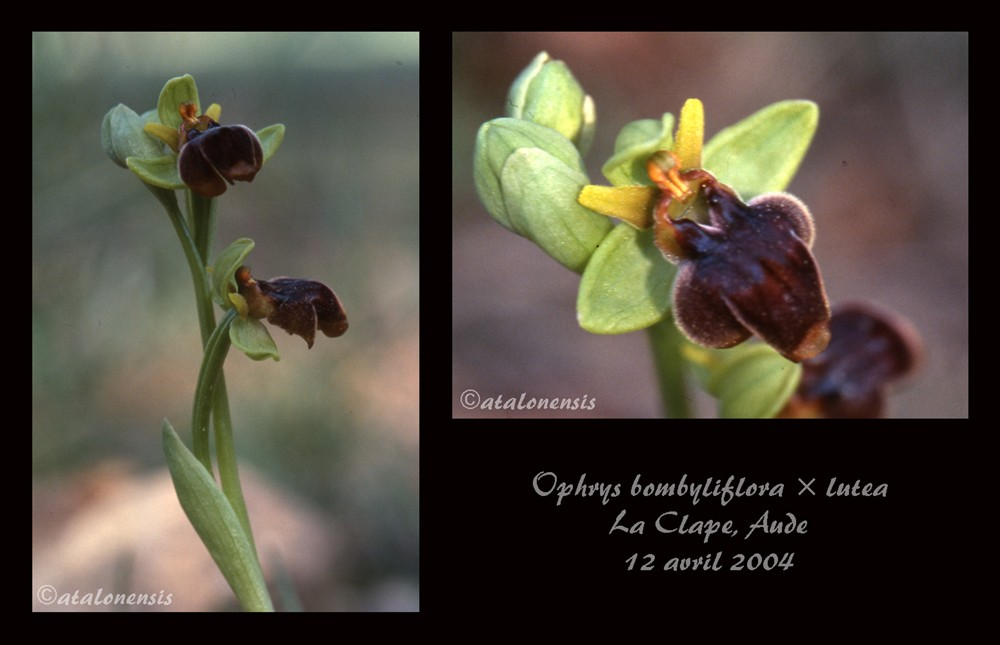 Ophrys bombyliflora x lutea Bomxlu10
