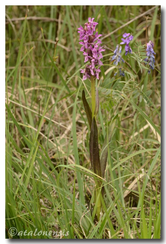 Dactylorhiza du Bourget (05) Bouget11