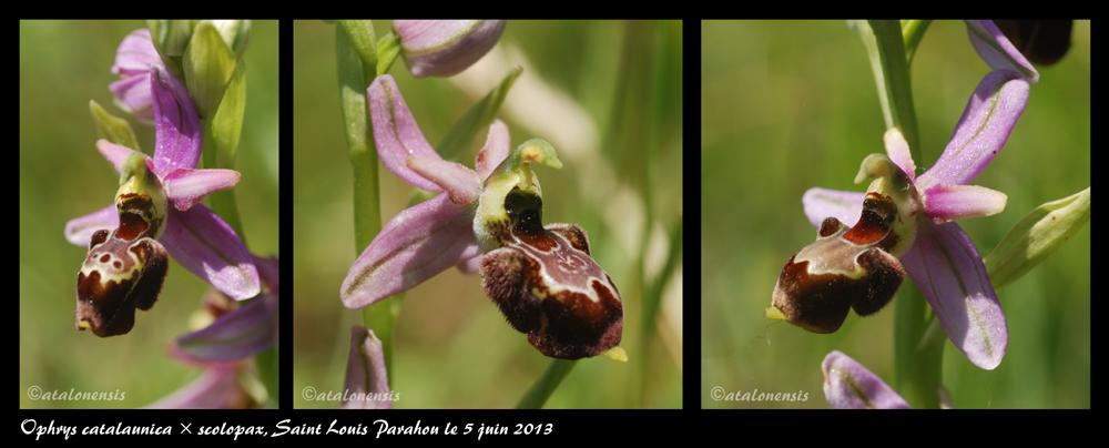 Ophrys bertolonii catalaunica × scolopax Catxsc10