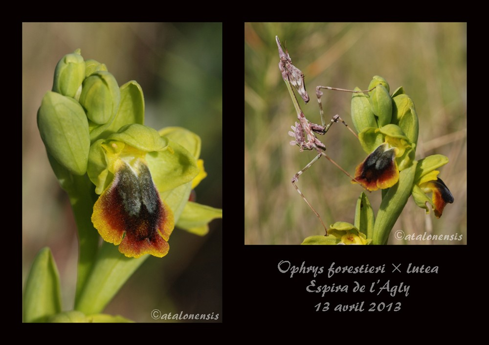 Ophrys forestieri x lutea Forest10