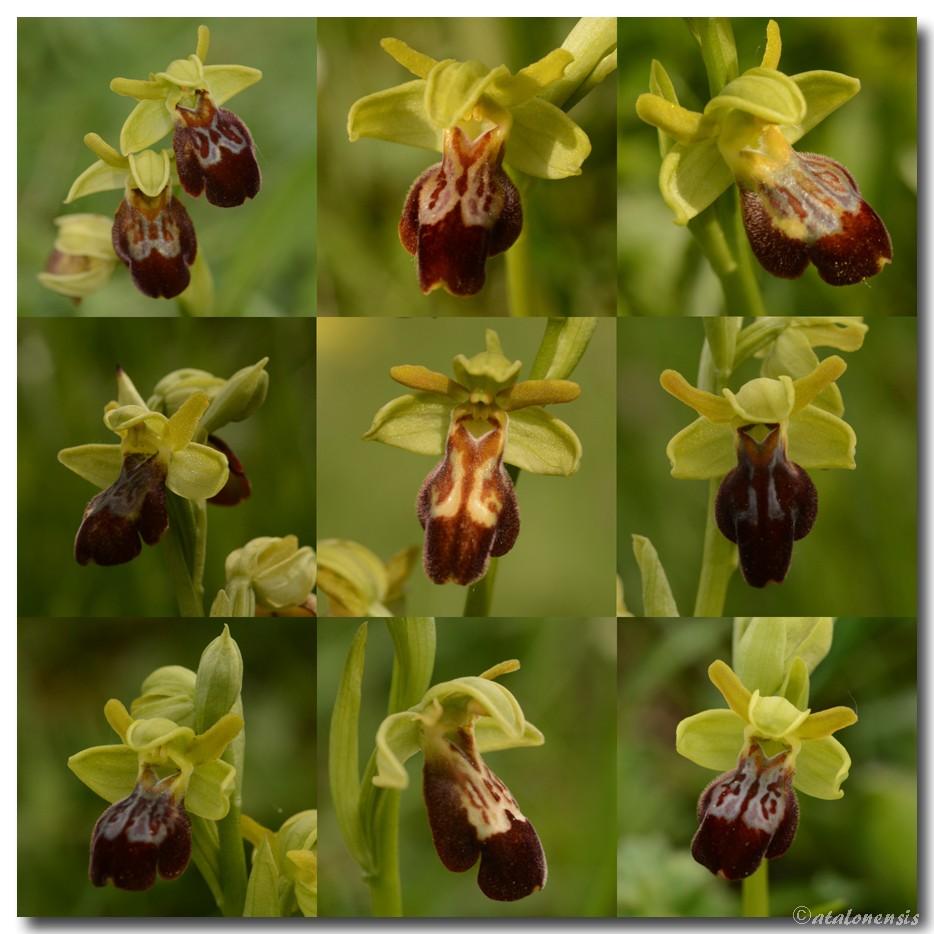 Ophrys aranifera × forestieri Mos_ar10