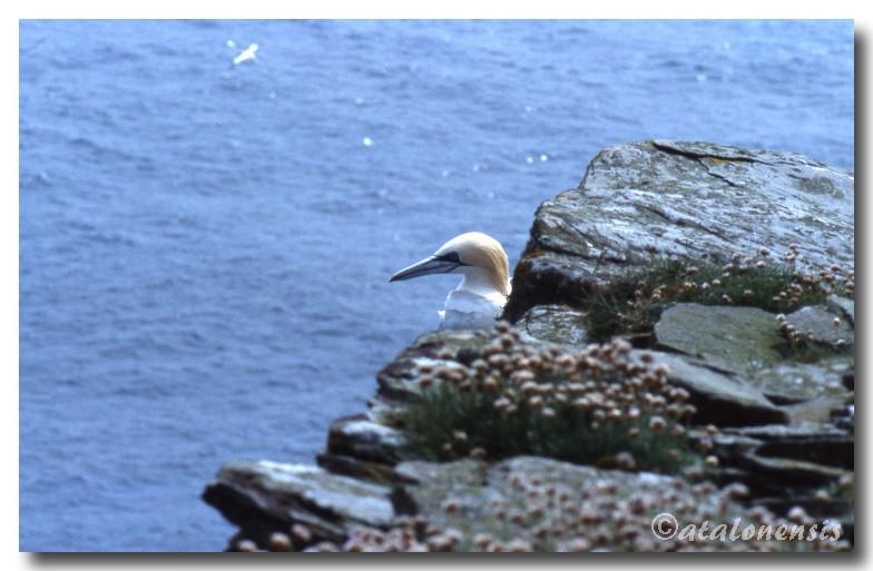 Retour sur les îles Shetland (juillet 2001) P_sche14