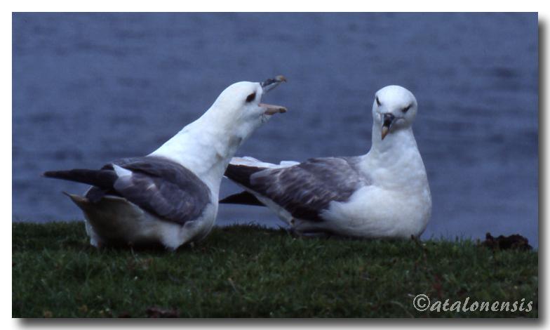 Retour sur les îles Shetland (juillet 2001) P_sche15