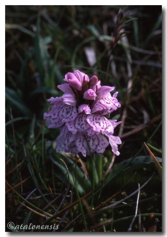 Retour sur les îles Shetland (juillet 2001) P_sche25