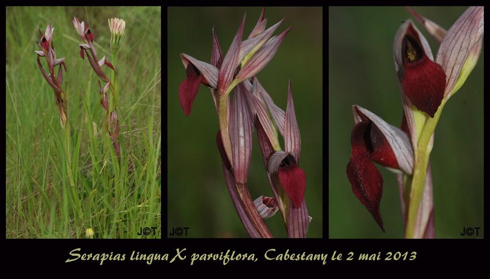 Serapias lingua × parviflora (× semilingua) Pl_lin10