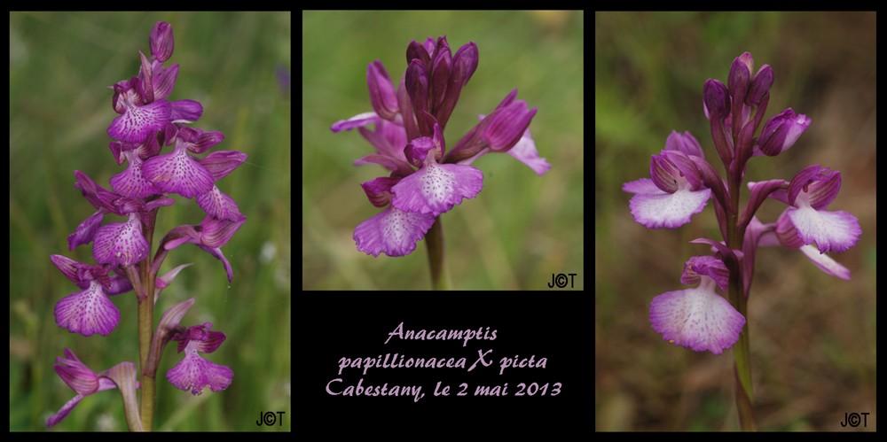 Anacamptis papilionacea X picta Pl_pap10