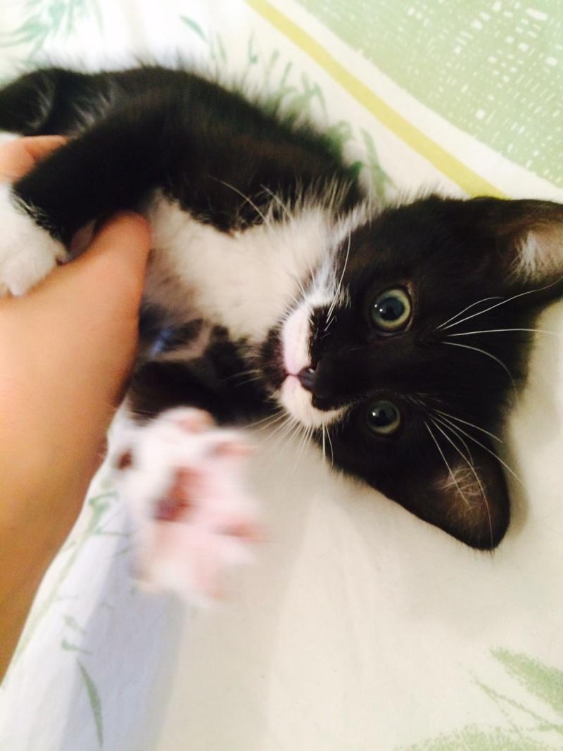 JEFFERSON, chaton mâle noir et blanc, né le 20/08/14 Fullsi10
