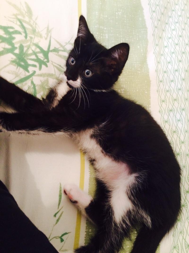 JEFFERSON, chaton mâle noir et blanc, né le 20/08/14 Fullsi11