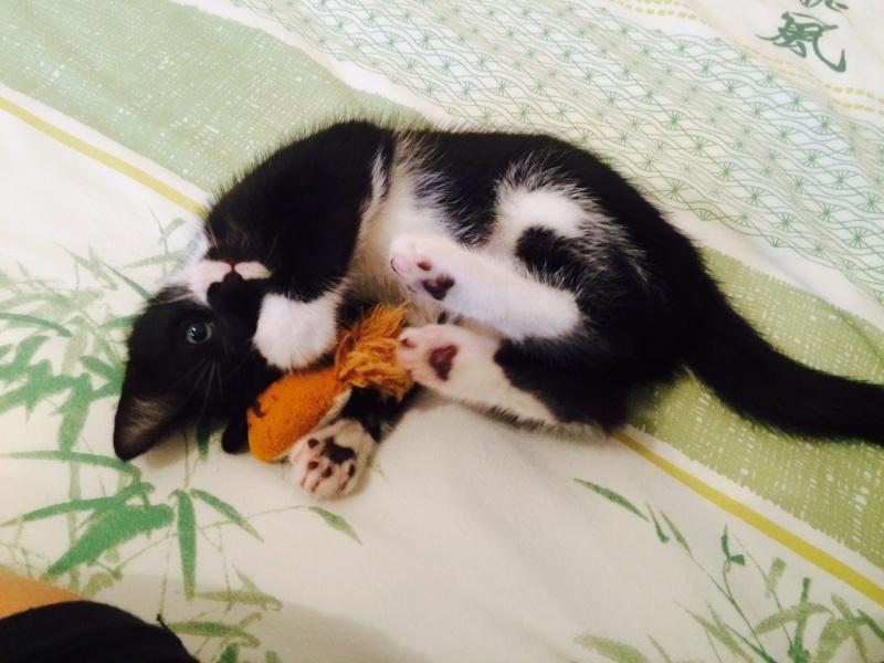 JEFFERSON, chaton mâle noir et blanc, né le 20/08/14 Fullsi14