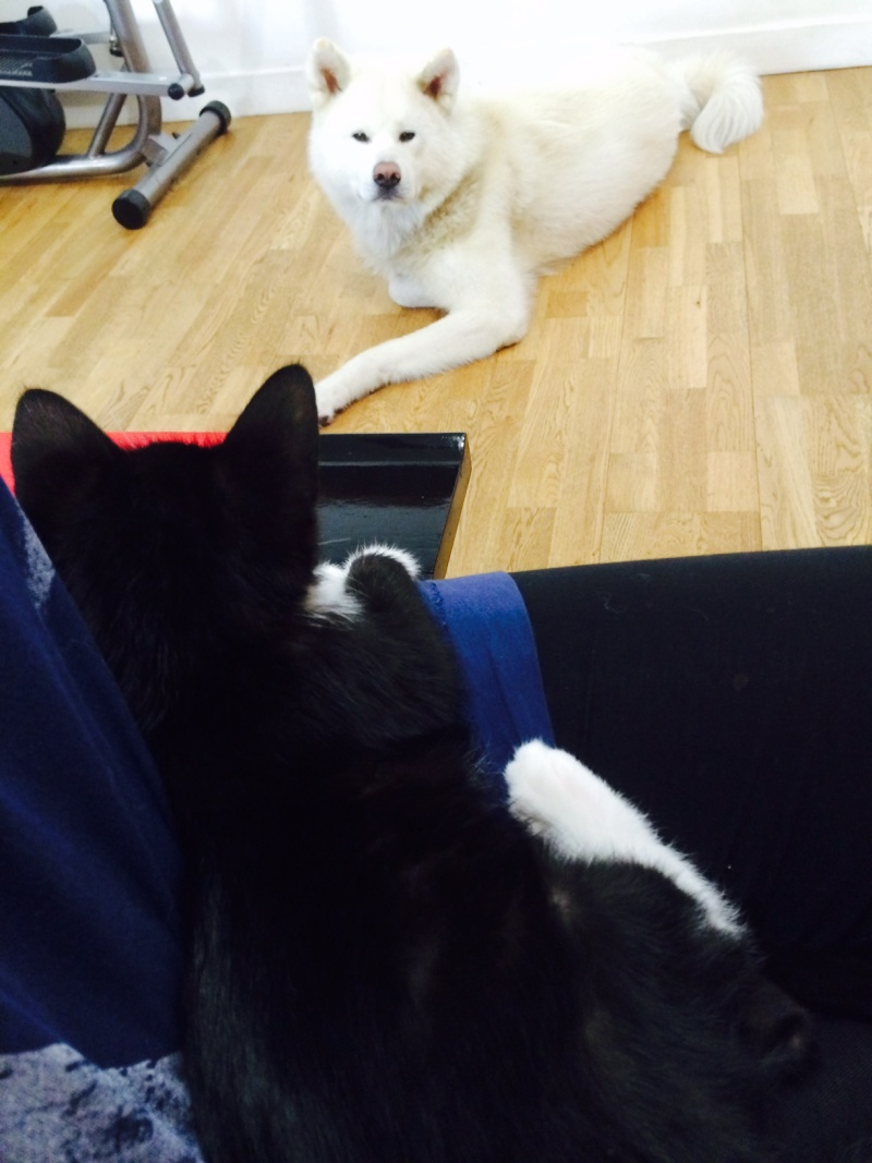 JEFFERSON, chaton mâle noir et blanc, né le 20/08/14 Fullsi15