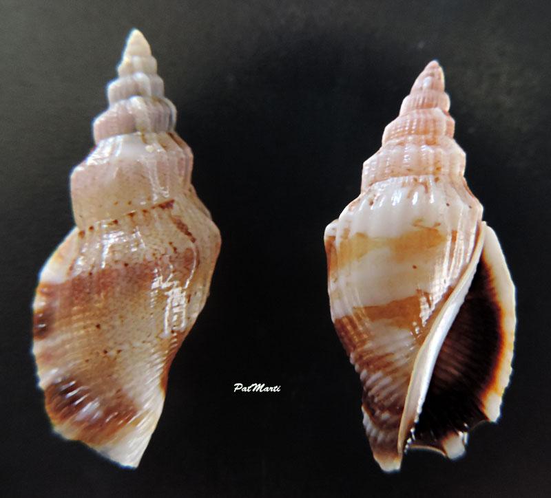 Canarium erythrinum - (Dillwyn, 1817) Canari10