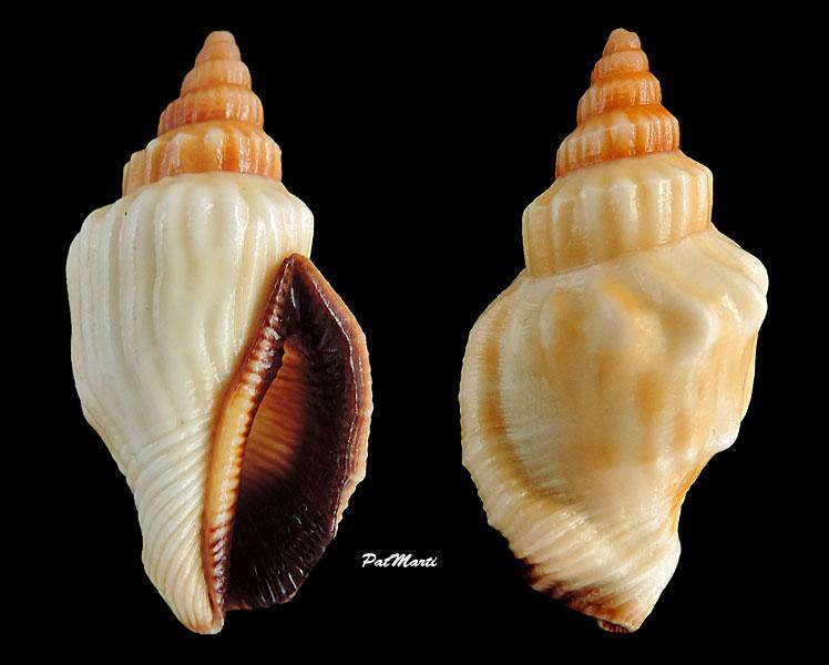 Canarium erythrinum - (Dillwyn, 1817) Canari12