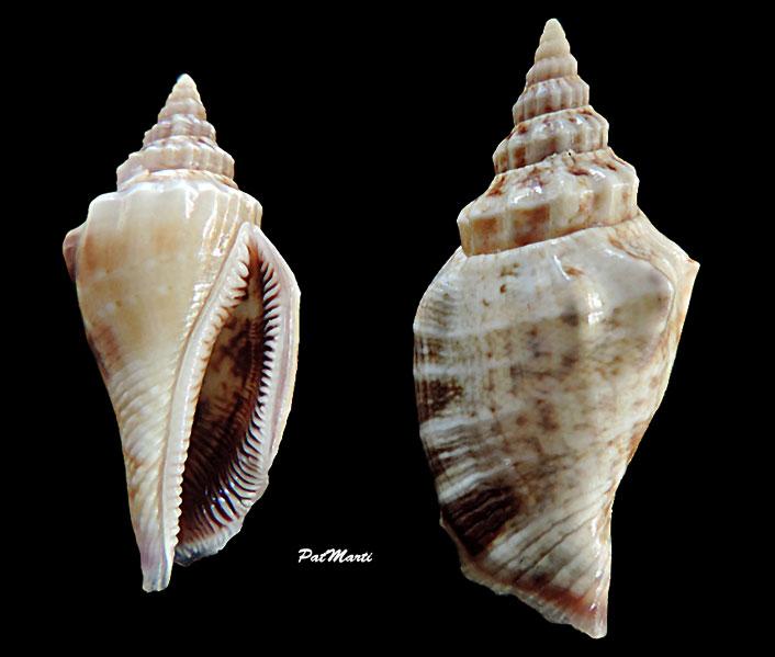 Canarium olydium - (Duclos, 1844)  Canari13