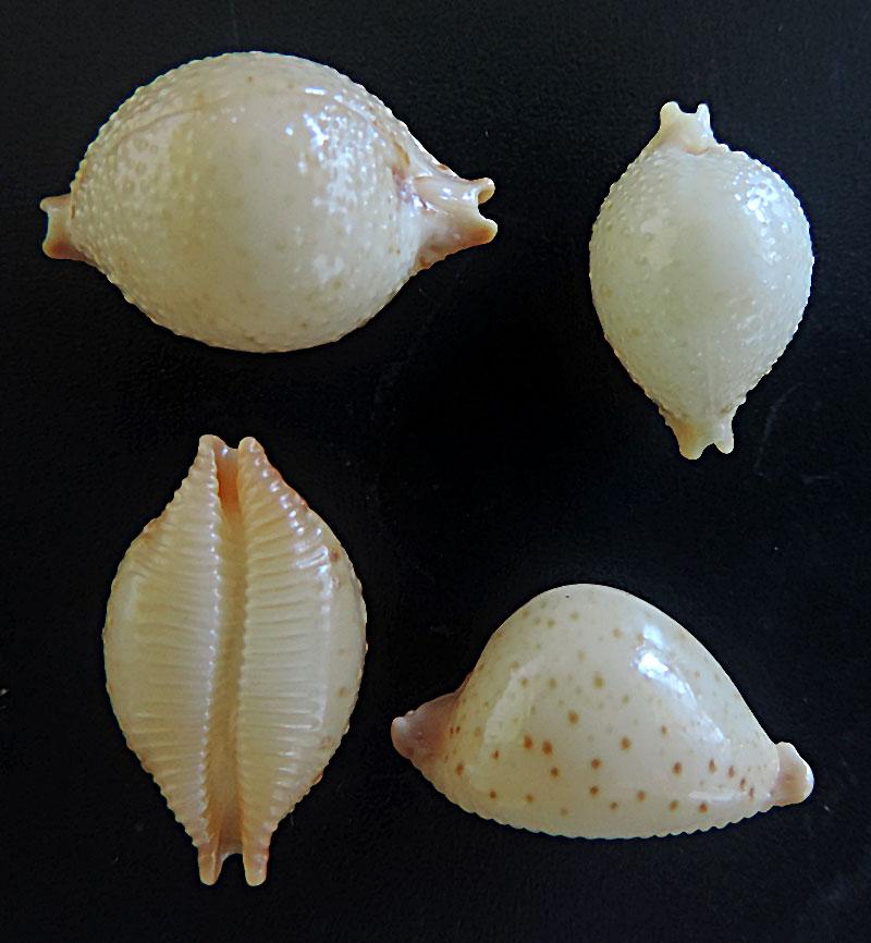 Pustularia cicercula cicercula - (Linnaeus, 1758) Cicerc11