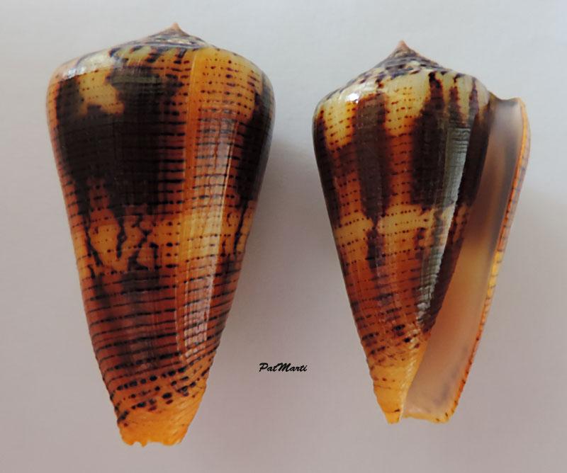 Conus (Pionoconus) circae (Sowerby ll, 1858) voir Conus (Pionoconus) magus - Page 2 Conus-12